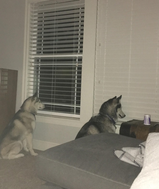 два собаки