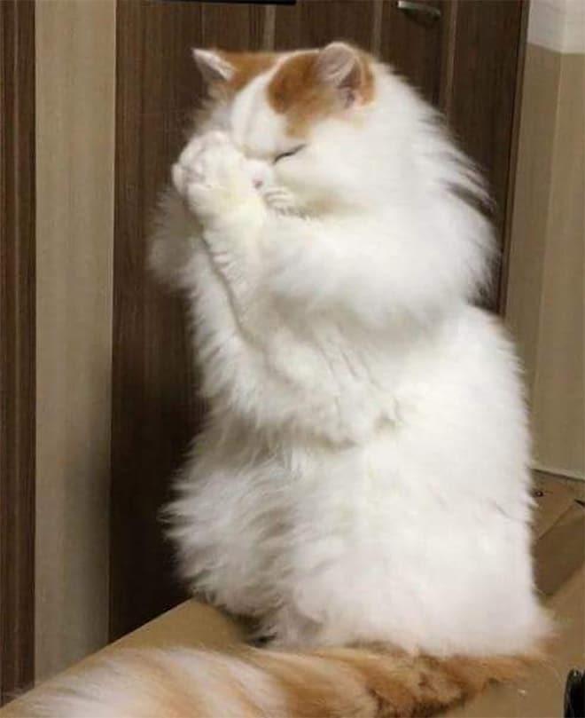 пушистая кошка молится