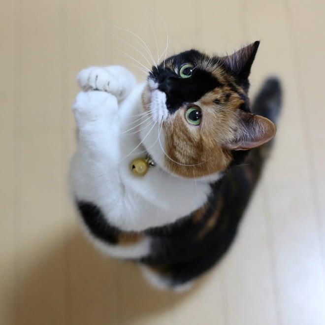 трехцветная кошка стоит на задних лапах