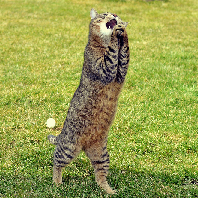 полосатый кот ходит по траве на задних лапах