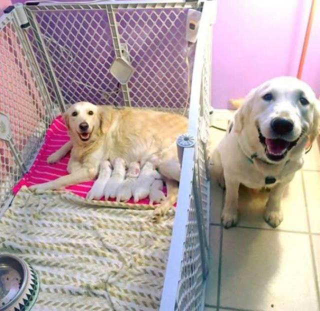лабрадор со щенками