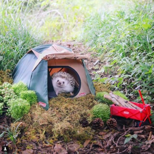 ежик в палатке