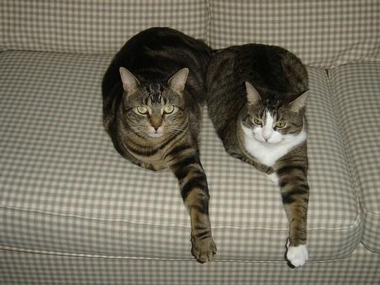 полосатые кошки на диване