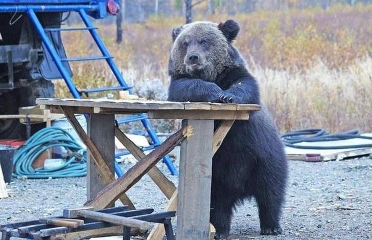 медведь стоит за столом