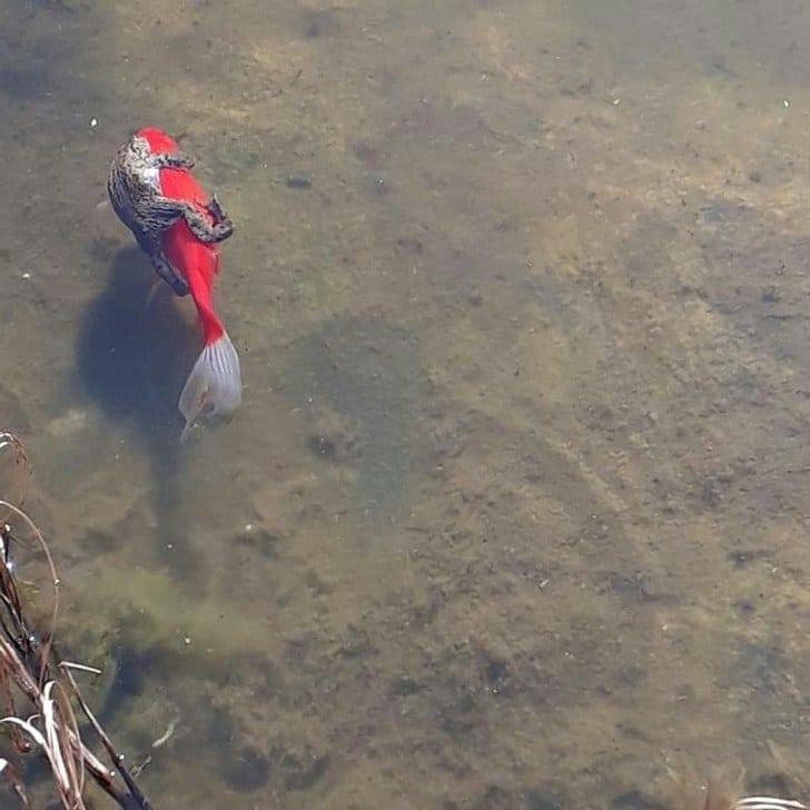 лягушка на рыбе