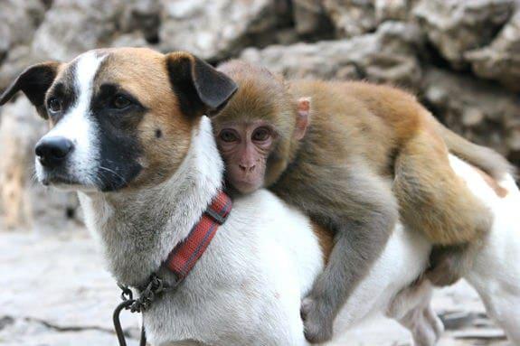 обезьяна на спине у собаки