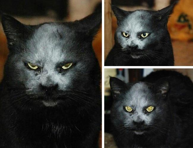 черный кот с белой мордой