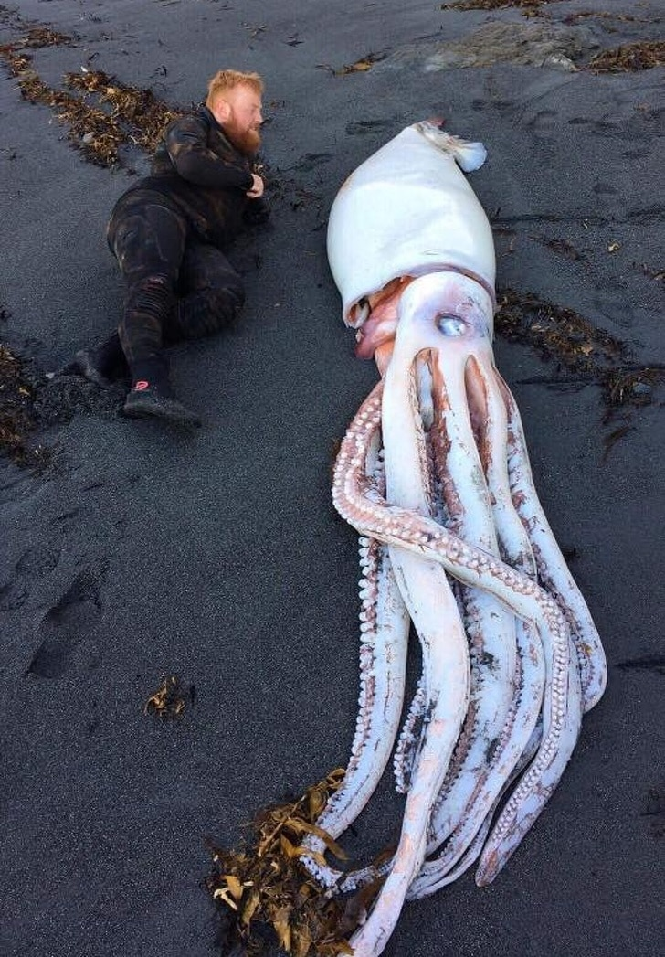 большой кальмар