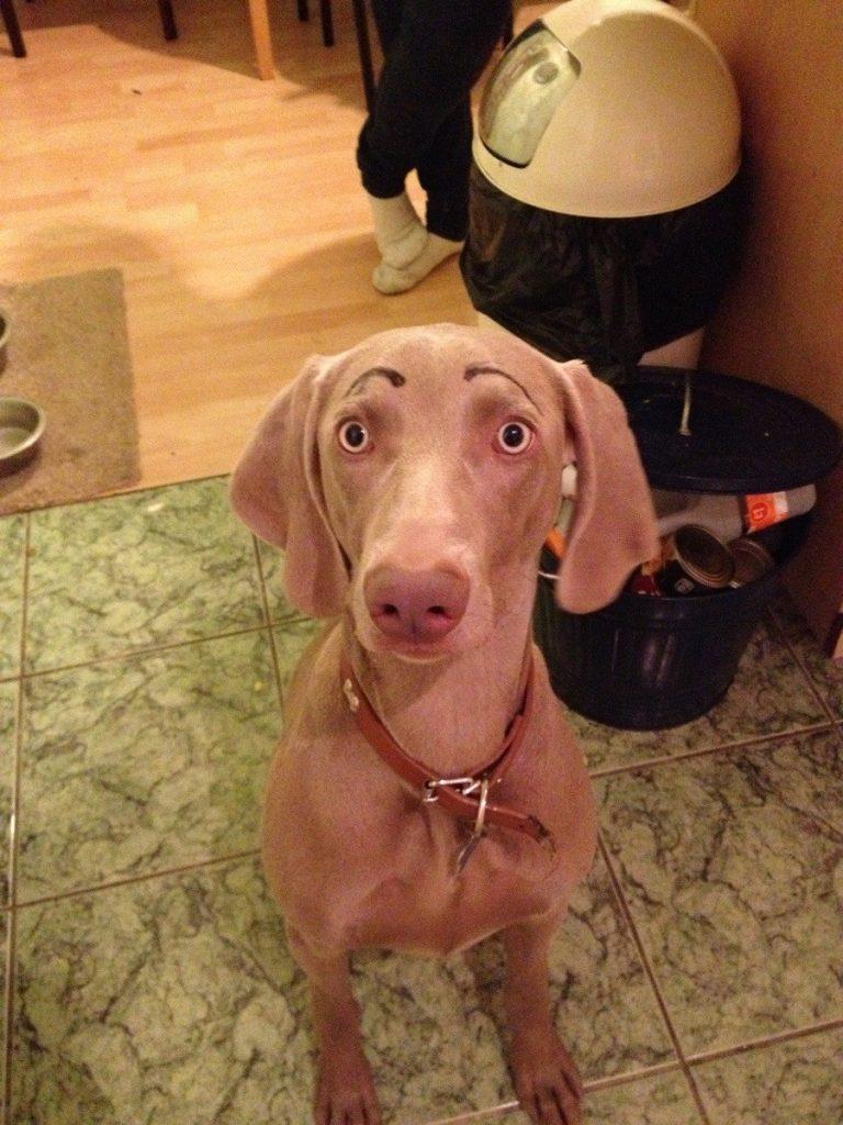 собака с нарисованными бровями рис 2