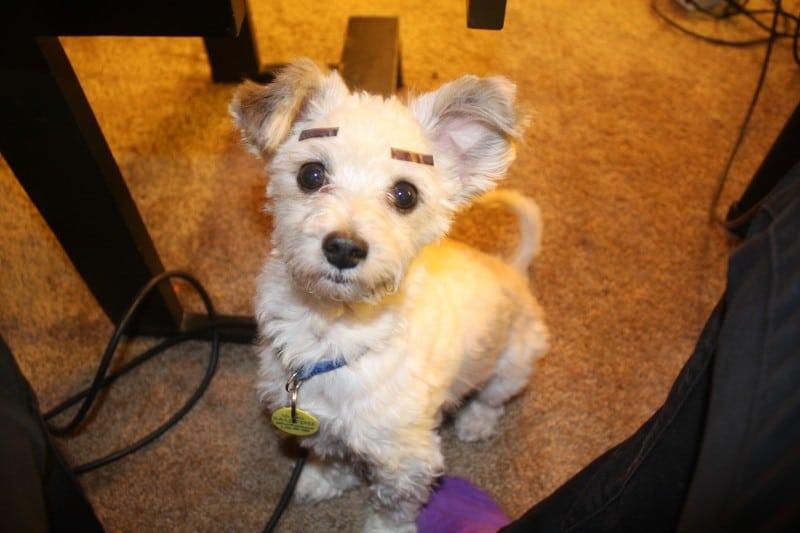 собака с наклеенными бровями