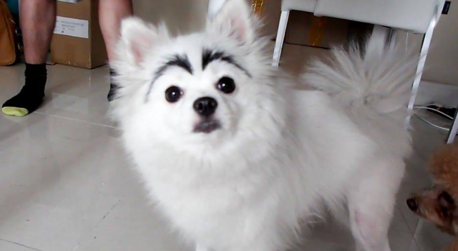 белая собака с черными бровями