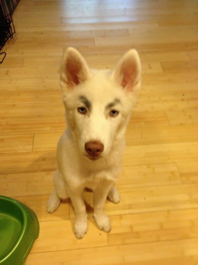 белый пес с бровями рис 2