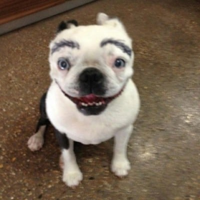 смешная собака с бровями