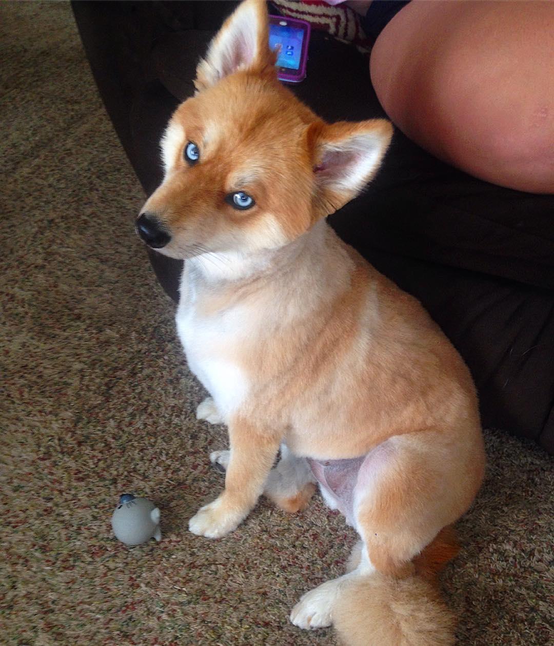 пес похожий на лису