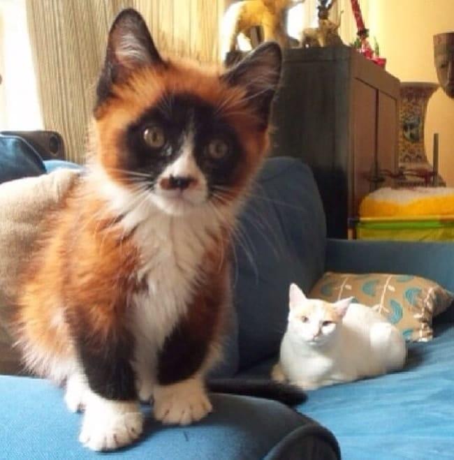 кошка с черной мордочкой