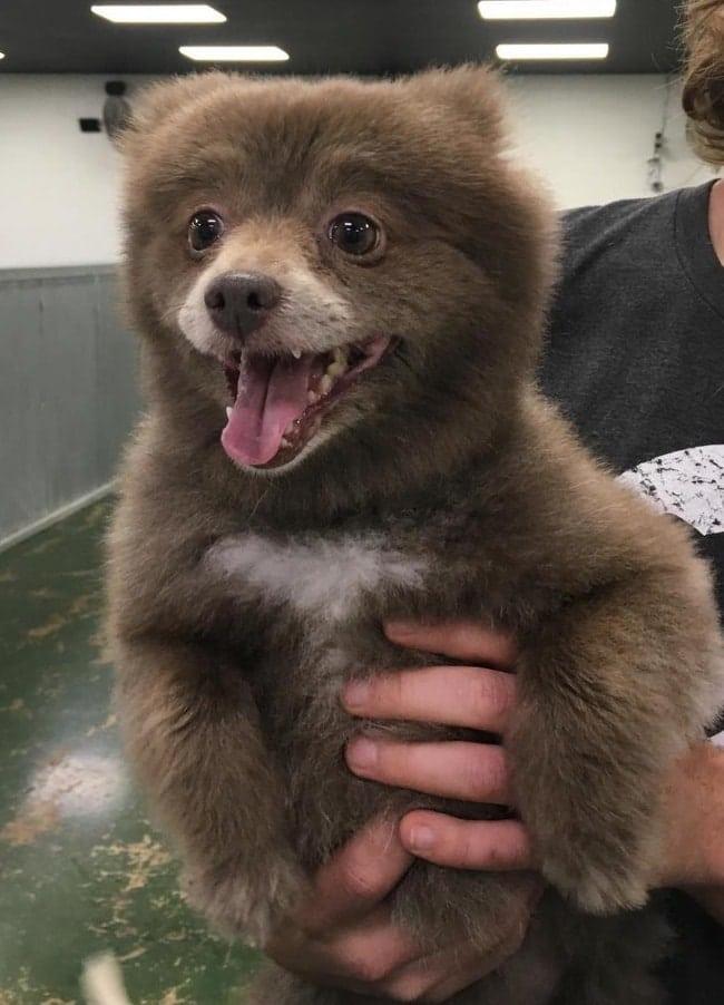 щенок похожий на медведя рис 2
