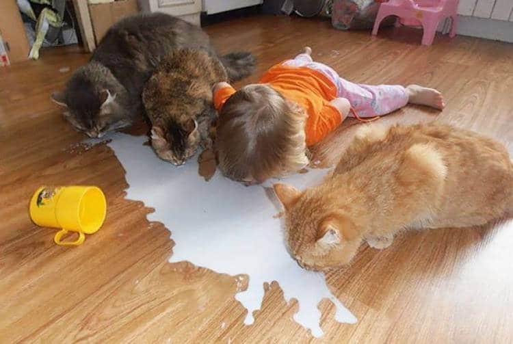 коты и ребенок пьют с пола молоко