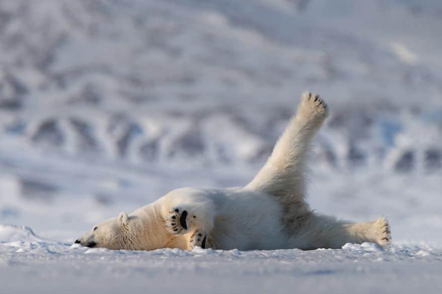 белый медведь лежит на стену