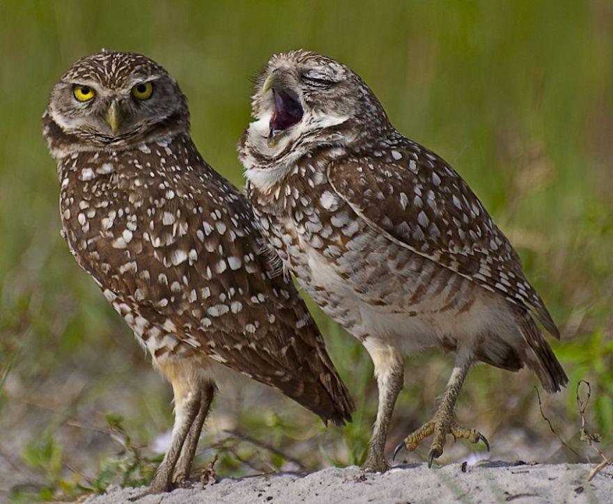 забавные совы