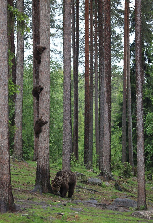 мама-медведь со своими детьми