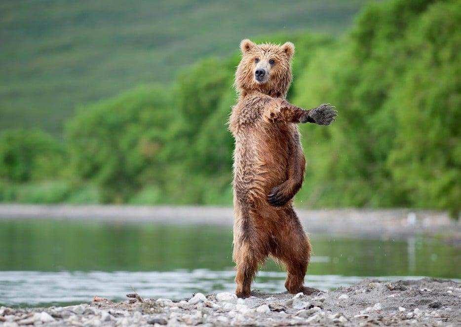 медведь стоит на задних лапах