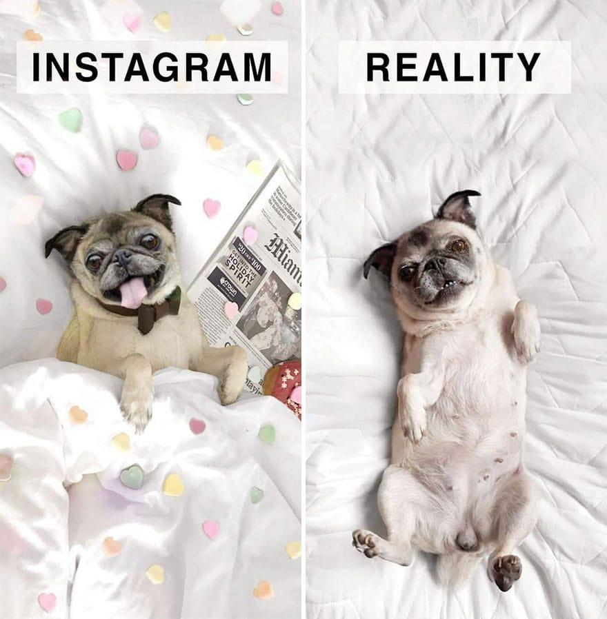 Инстаграм и жизнь: мопс в кровати
