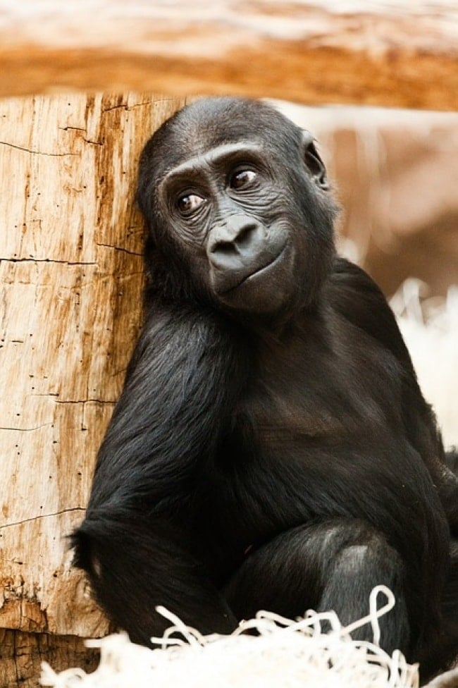 обезьяна рис 2