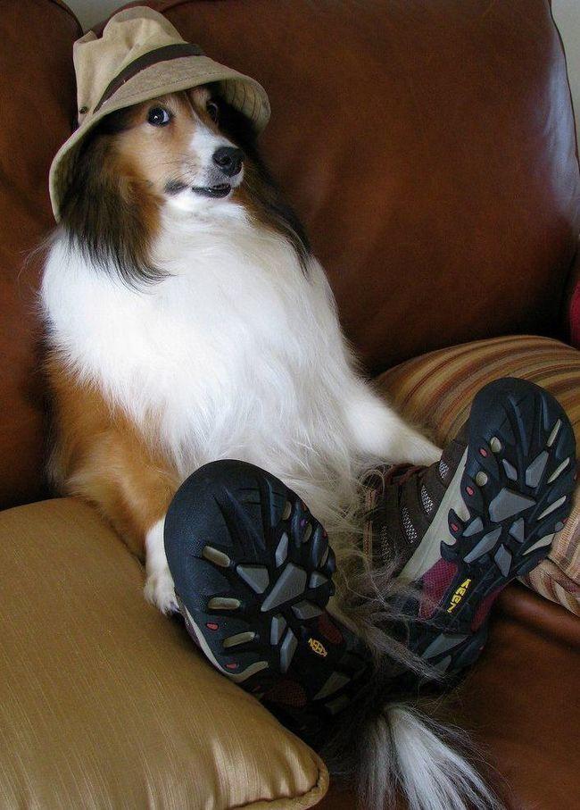 колли в шляпе и ботинках