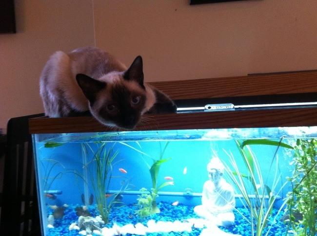 кошка сидит на аквариуме