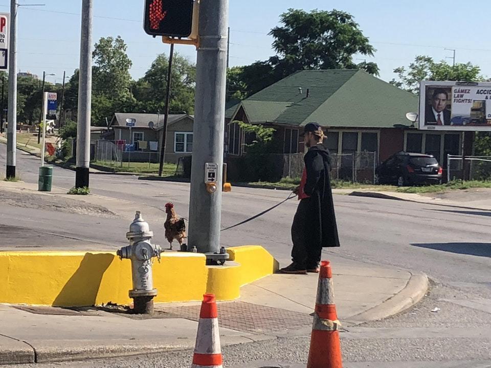 мужчина выгуливает петуха на поводке