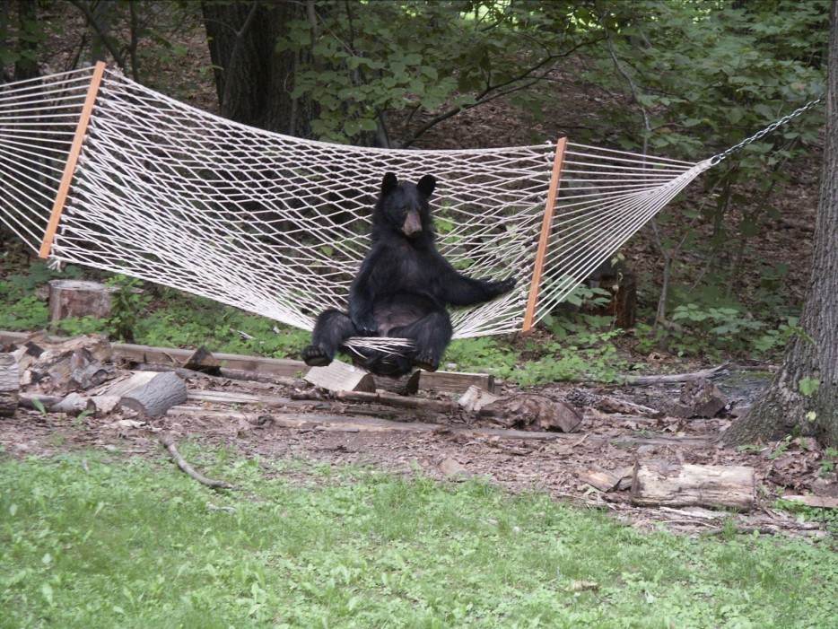 медведь в гамаке