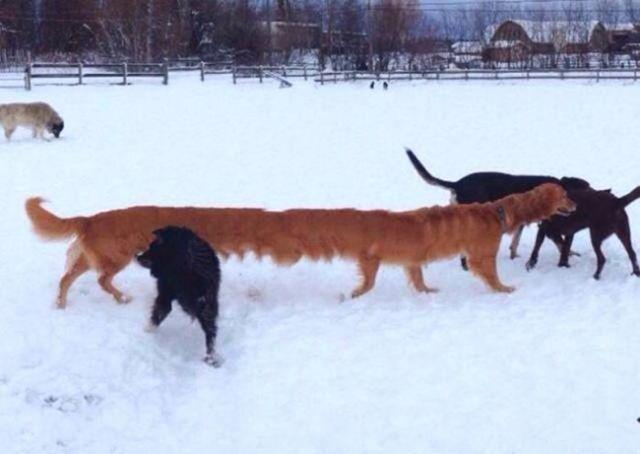 панорамное фото: длинный пес