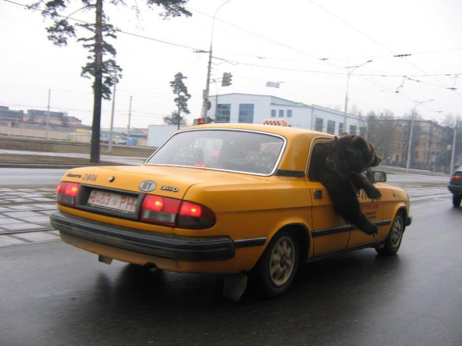 медведь в такси