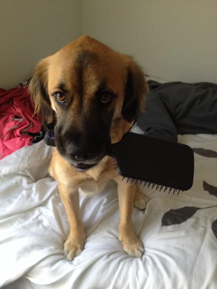 собака с расческой в зубах