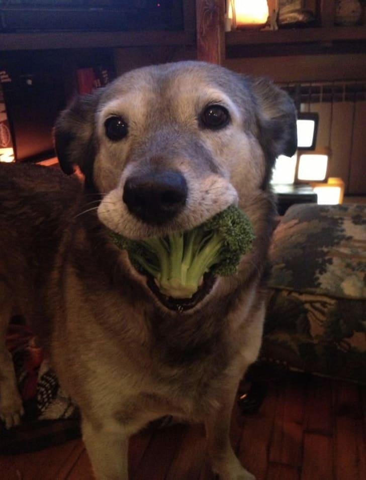 собака с брокколи в зубах