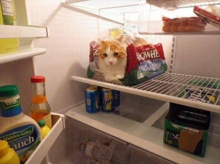 рыже-белый кот в холодильнике