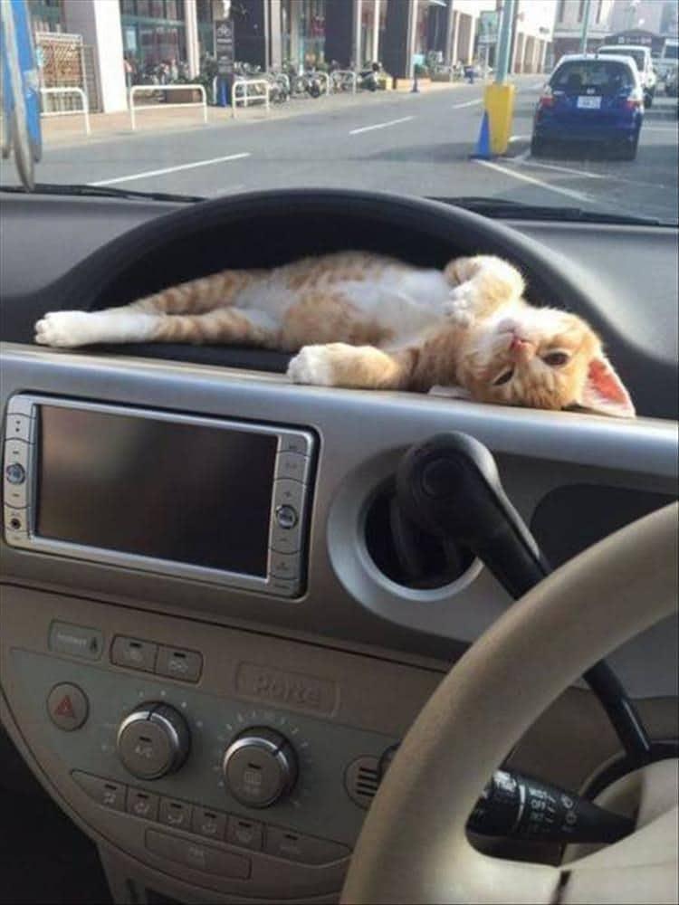 рыже-белый котенок в машине