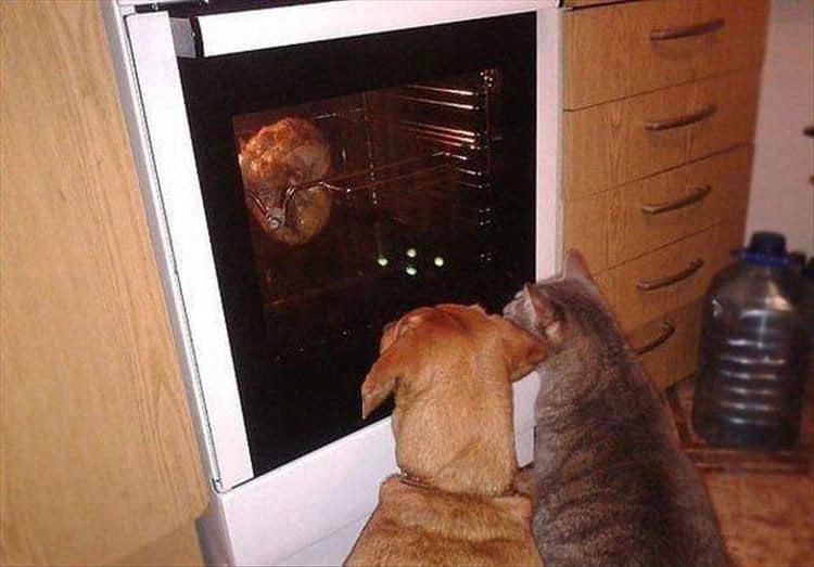 кот и собака смотрят на мясо в духовке