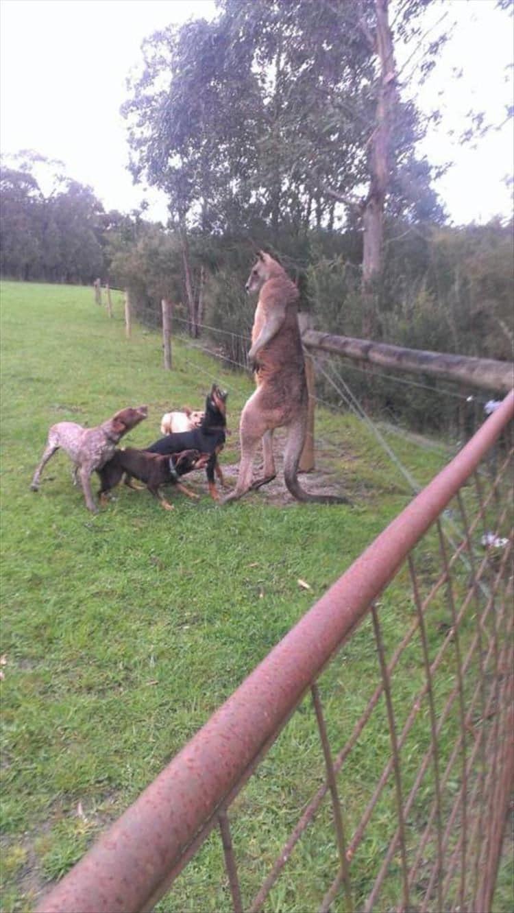 собаки лают на кенгуру