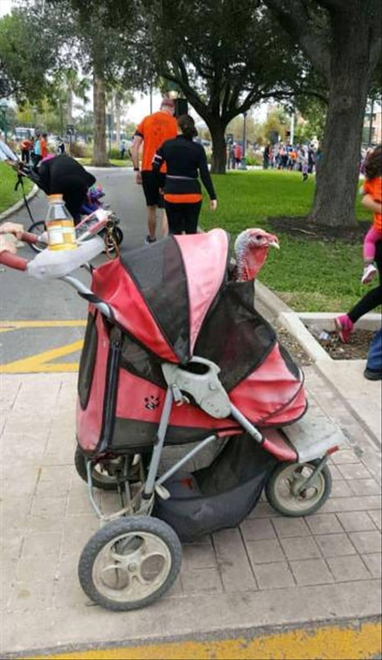 индюк в коляске