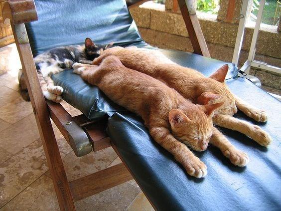 рыжие коты спят