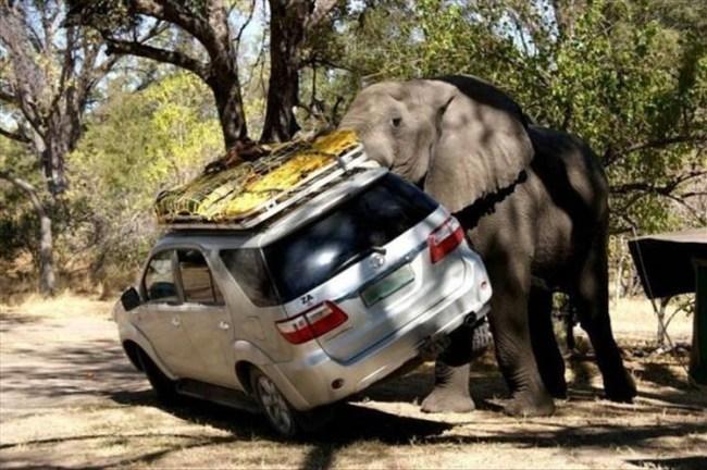 слон переворачивает машину