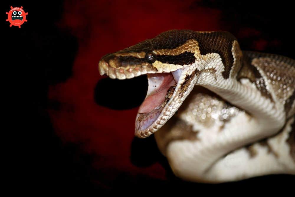 змея шипит