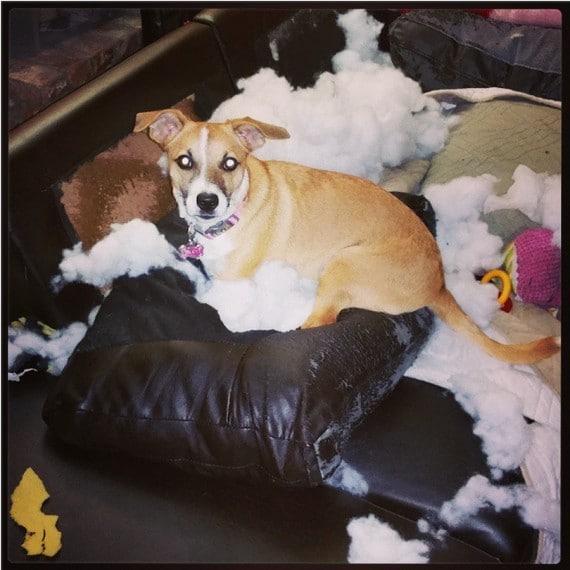 собака на разорванной подушке