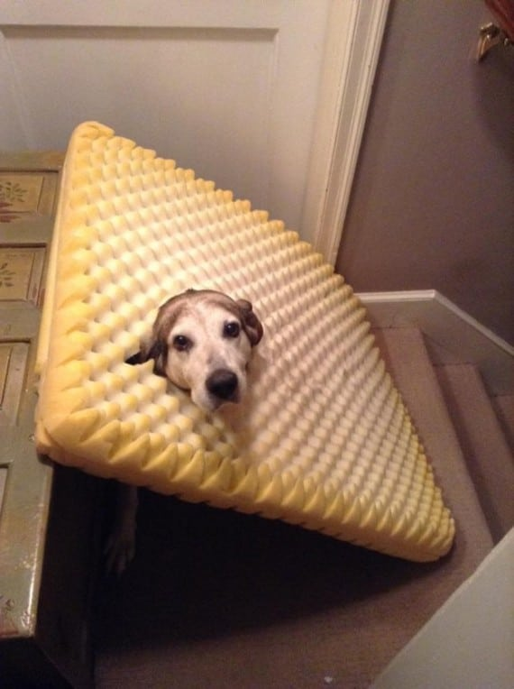 собака с ковром на голове
