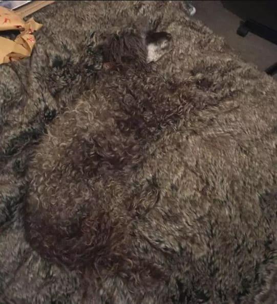 собака сливается с ковром