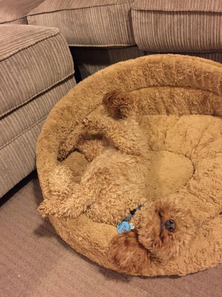 рыжая собака спит