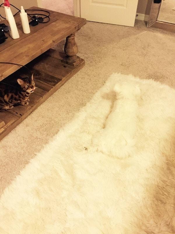 белая собака на белом ковре