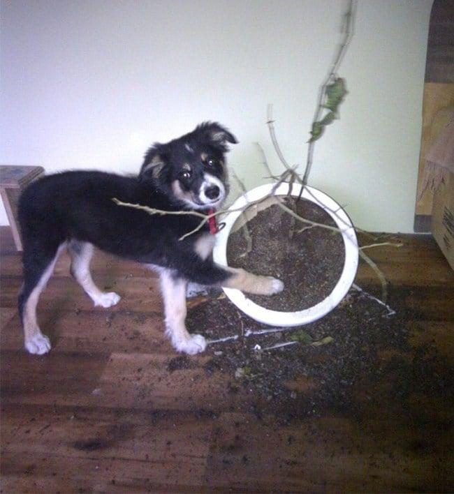 собака перевернула горшок с цветком
