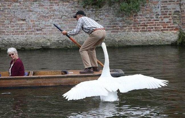 лебедь клюет мужчину на лодке
